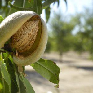 Amendoeira