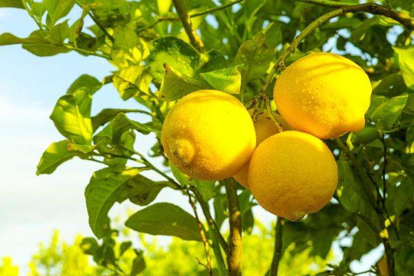 Limoeiros